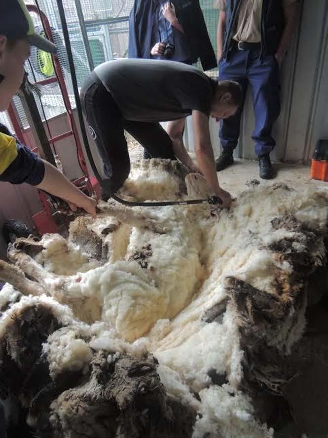 Αυτό συμβαίνει όταν ένα πρόβατο δεν κουρευτεί για 5 χρόνια (7)