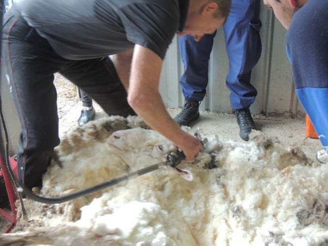 Αυτό συμβαίνει όταν ένα πρόβατο δεν κουρευτεί για 5 χρόνια (8)