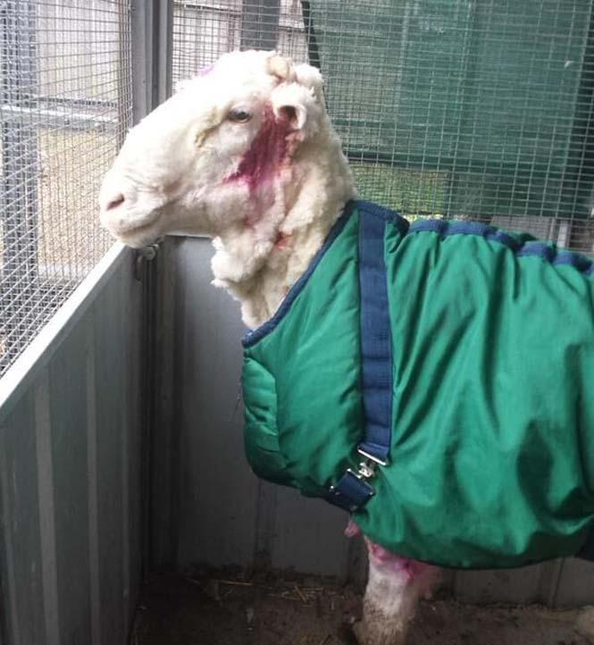 Αυτό συμβαίνει όταν ένα πρόβατο δεν κουρευτεί για 5 χρόνια (11)