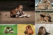 Πως κοιμούνται οι καμηλοπαρδάλεις (1)