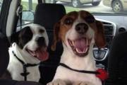 Σκύλοι στο αυτοκίνητο λίγο μετά την υιοθεσία τους (18)