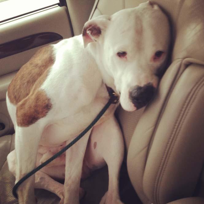 Σκύλοι στο αυτοκίνητο λίγο μετά την υιοθεσία τους #2 (10)