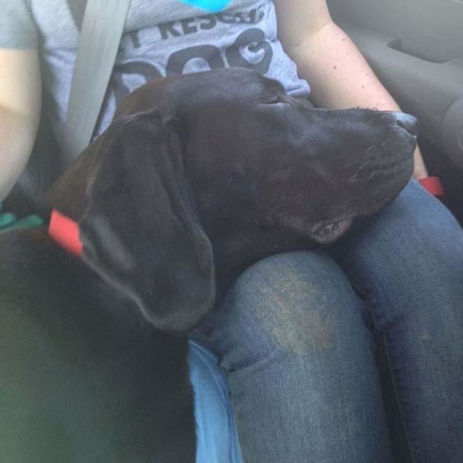 Σκύλοι στο αυτοκίνητο λίγο μετά την υιοθεσία τους #2 (11)