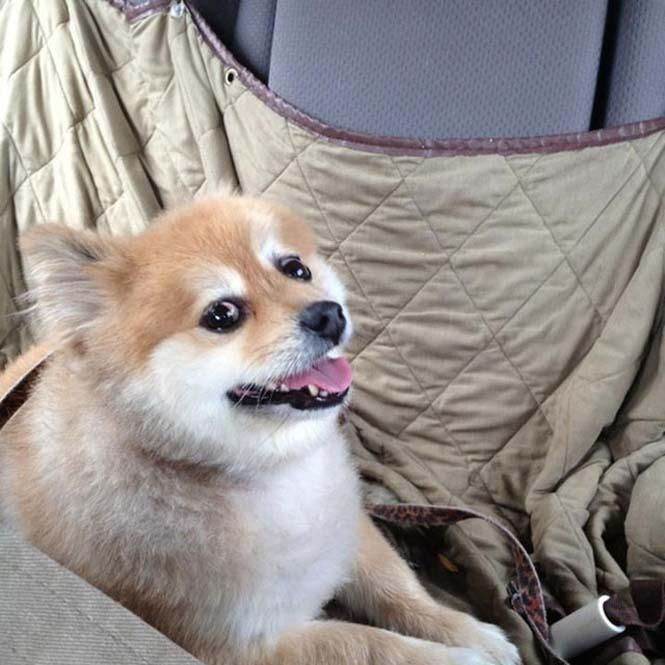 Σκύλοι στο αυτοκίνητο λίγο μετά την υιοθεσία τους #2 (14)