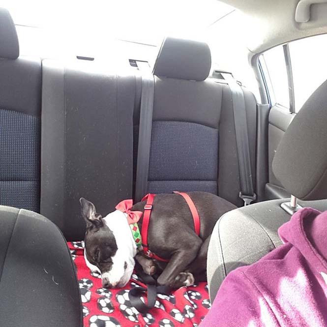 Σκύλοι στο αυτοκίνητο λίγο μετά την υιοθεσία τους #2 (23)