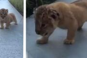 Ο βρυχηθμός αυτού του μικροσκοπικού λιονταριού θα σας κάνει να λιώσετε