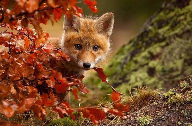 Eκπληκτικές φωτογραφίες ζώων που απολαμβάνουν το Φθινόπωρο (4)