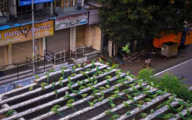 Ινδός ταΐζει 4.000 παπαγάλους κάθε μέρα (4)