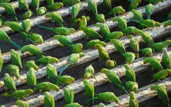 Ινδός ταΐζει 4.000 παπαγάλους κάθε μέρα (7)