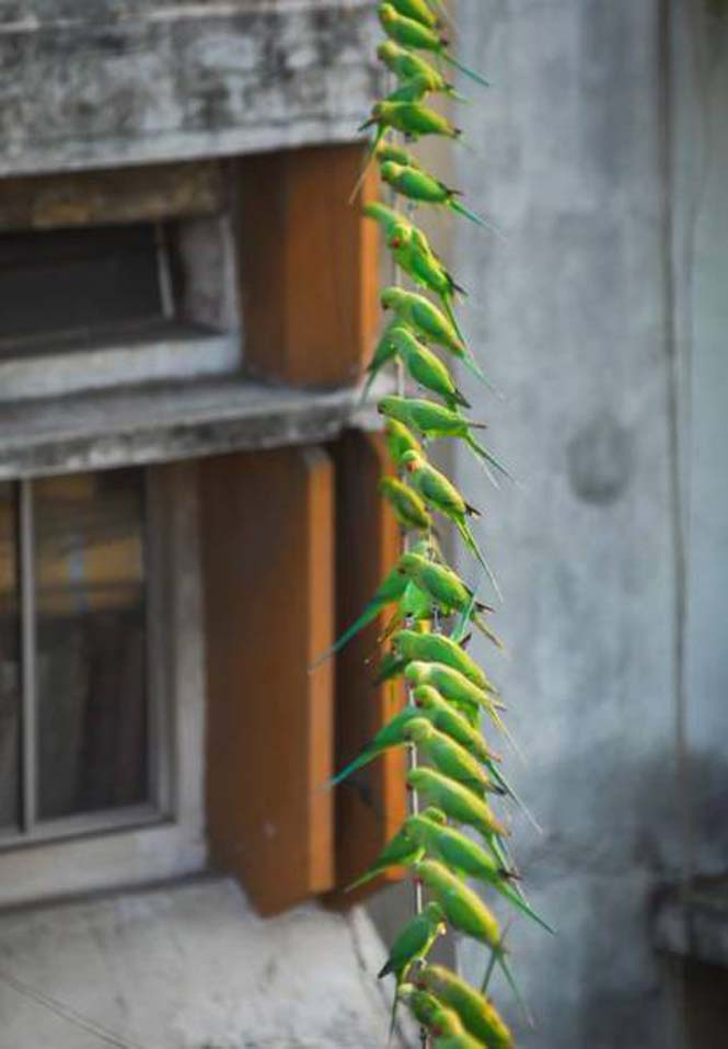 Ινδός ταΐζει 4.000 παπαγάλους κάθε μέρα (8)