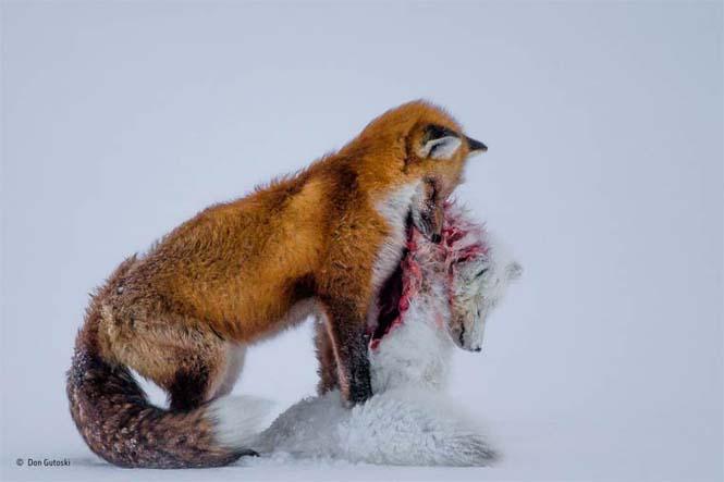 Οι κορυφαίες φωτογραφίες άγριας ζωής του 2015 (8)