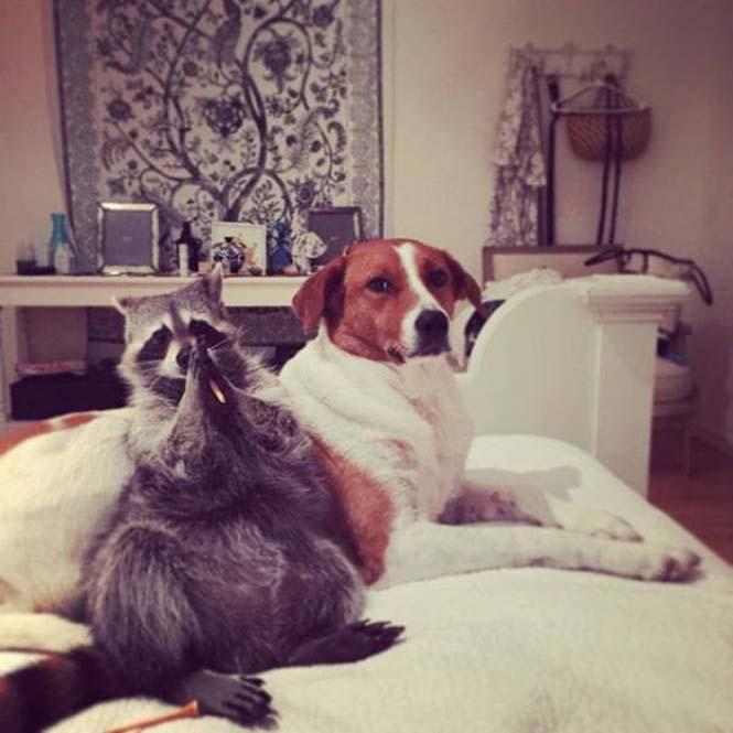 Μικρό ρακούν μεγάλωσε με οικογένεια σκύλων (13)