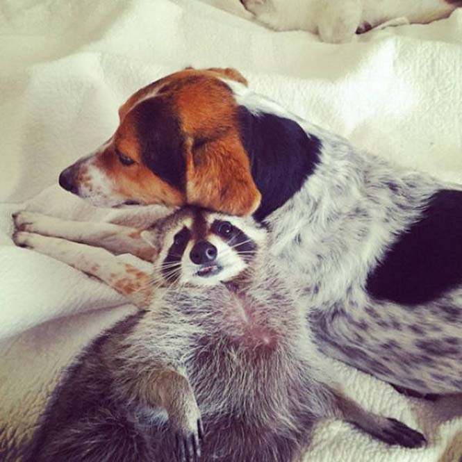 Μικρό ρακούν μεγάλωσε με οικογένεια σκύλων (15)