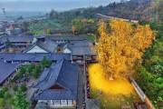 Δένδρο 1.400 ετών σε βουδιστικό ναό στρώνει κάθε χρόνο χρυσό «χαλί» για τον Χειμώνα (1)