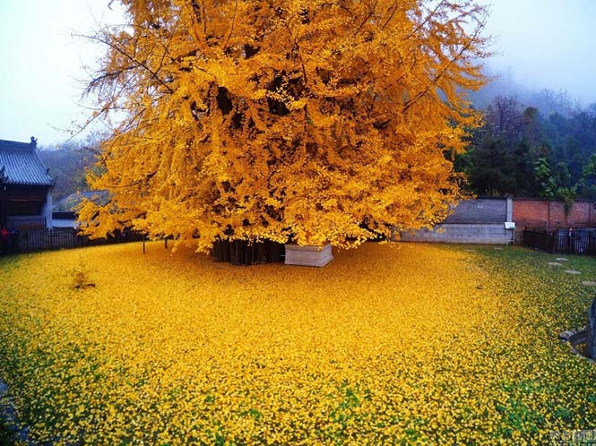 Δένδρο 1.400 ετών σε βουδιστικό ναό στρώνει κάθε χρόνο χρυσό «χαλί» για τον Χειμώνα (2)