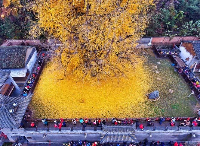 Δένδρο 1.400 ετών σε βουδιστικό ναό στρώνει κάθε χρόνο χρυσό «χαλί» για τον Χειμώνα (3)