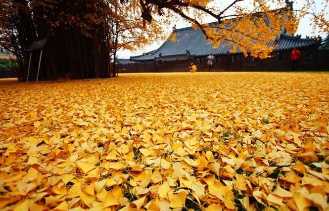 Δένδρο 1.400 ετών σε βουδιστικό ναό στρώνει κάθε χρόνο χρυσό «χαλί» για τον Χειμώνα (4)