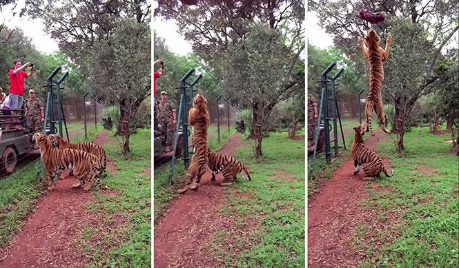 Εκπληκτικό άλμα τίγρης σε αργή κίνηση