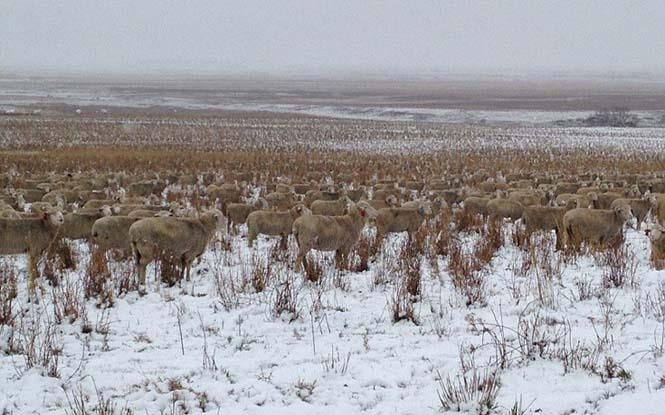 Μπορείτε να εντοπίσετε τα 500 πρόβατα που υπάρχουν σε αυτή την φωτογραφία; (3)