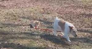 Αυτή η γάτα δείχνει στον σκύλο ποιος κάνει κουμάντο (Video)