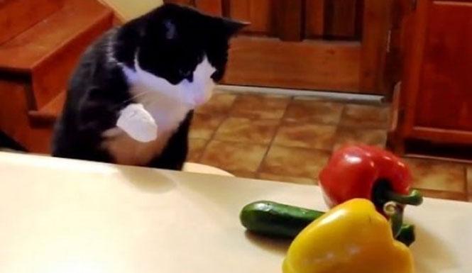 Γάτες εναντίον αγγουριών