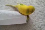Παπαγαλάκι θρηνεί το νεκρό φίλο του