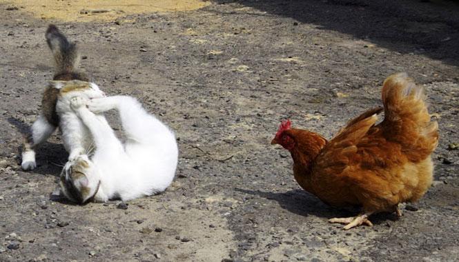 Ο διαιτητής ήταν... κότα | Φωτογραφία της ημέρας