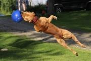Σκύλος σωματοφύλακας