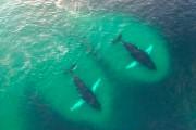 Drone κατέγραψε ένα κοπάδι από φάλαινες την ώρα που τρώνε με μανία