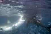 Φωτογράφος κατέγραψε την μάχη ανάμεσα σε δυο καρχαρίες (1)