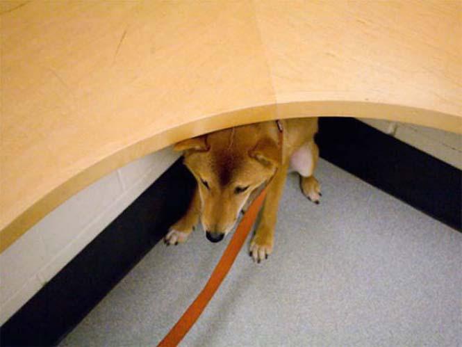 Κατοικίδια που δεν ενθουσιάζονται με την επίσκεψη στον κτηνίατρο (7)