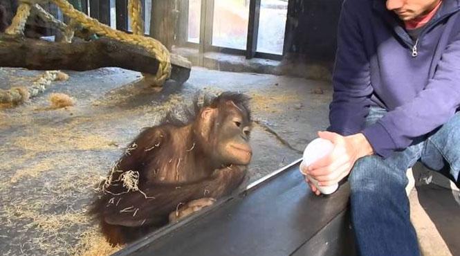 Μαϊμού ξεκαρδίζεται με μαγικό κόλπο