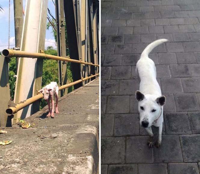 Σκύλοι πριν και μετά την υιοθεσία (7)
