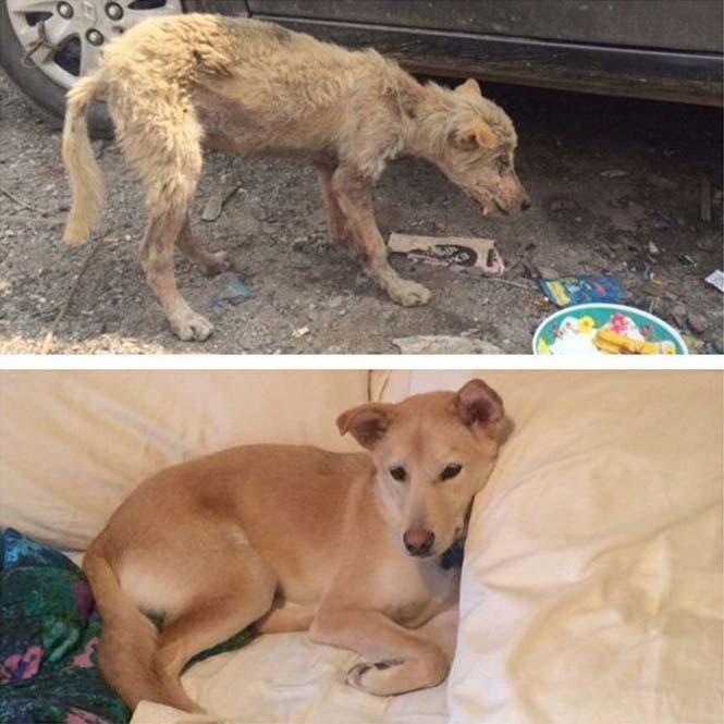 Σκύλοι πριν και μετά την υιοθεσία (11)