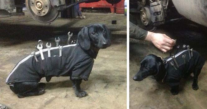 Σκύλος εργαλειοθήκη είναι ο πιο χαριτωμένος βοηθός μηχανικού αυτοκινήτων (1)