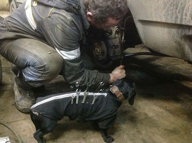 Σκύλος εργαλειοθήκη είναι ο πιο χαριτωμένος βοηθός μηχανικού αυτοκινήτων (4)