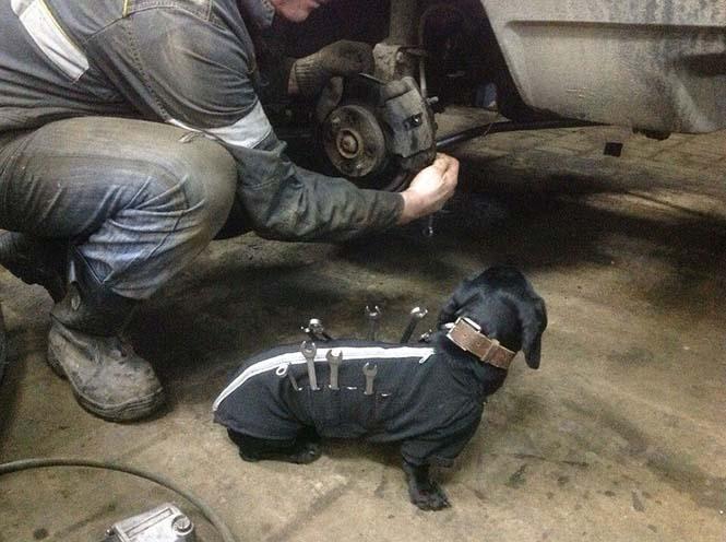 Σκύλος εργαλειοθήκη είναι ο πιο χαριτωμένος βοηθός μηχανικού αυτοκινήτων (2)