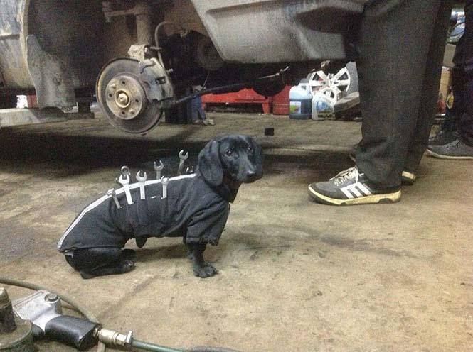 Σκύλος εργαλειοθήκη είναι ο πιο χαριτωμένος βοηθός μηχανικού αυτοκινήτων (5)