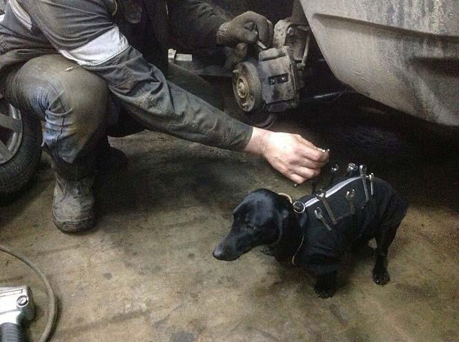 Σκύλος εργαλειοθήκη είναι ο πιο χαριτωμένος βοηθός μηχανικού αυτοκινήτων (3)