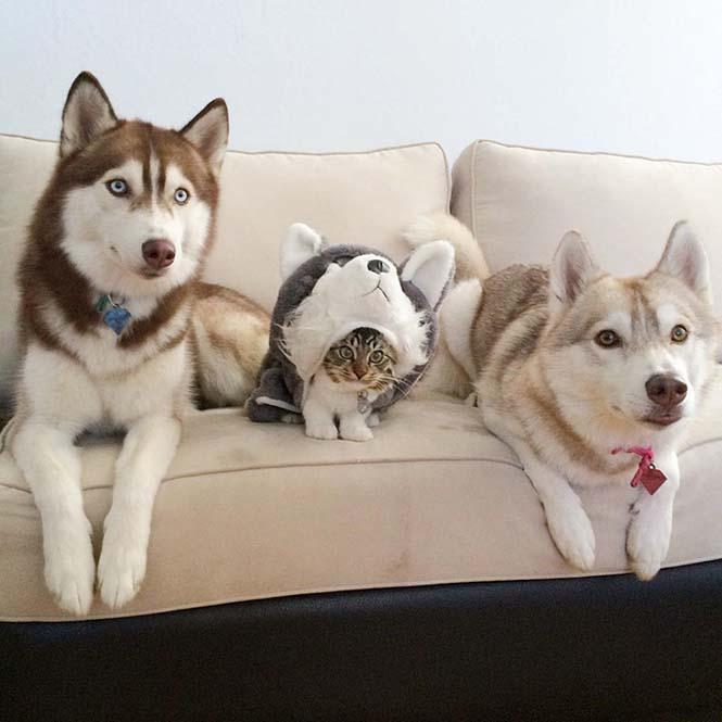 3 χάσκι έγιναν αχώριστοι φίλοι με μια γάτα αφού την έσωσαν από τον θάνατο (3)