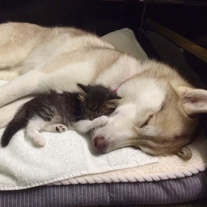 3 χάσκι έγιναν αχώριστοι φίλοι με μια γάτα αφού την έσωσαν από τον θάνατο (5)