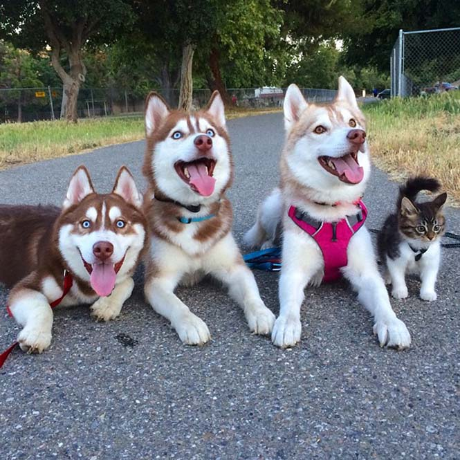 3 χάσκι έγιναν αχώριστοι φίλοι με μια γάτα αφού την έσωσαν από τον θάνατο (9)