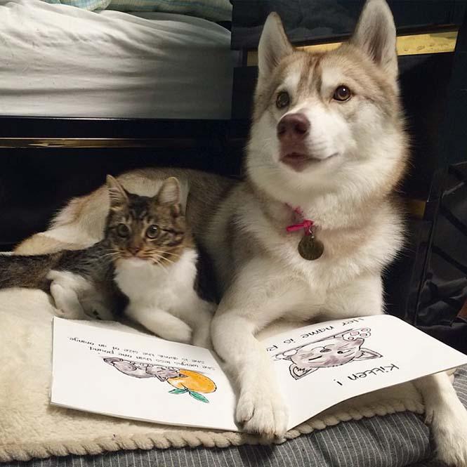 3 χάσκι έγιναν αχώριστοι φίλοι με μια γάτα αφού την έσωσαν από τον θάνατο (12)
