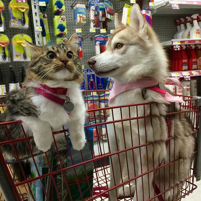 3 χάσκι έγιναν αχώριστοι φίλοι με μια γάτα αφού την έσωσαν από τον θάνατο (16)