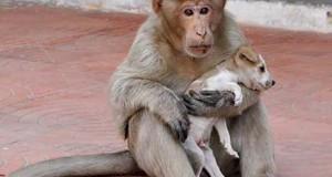 Μαϊμού πήρε κουτάβι υπό την προστασία της