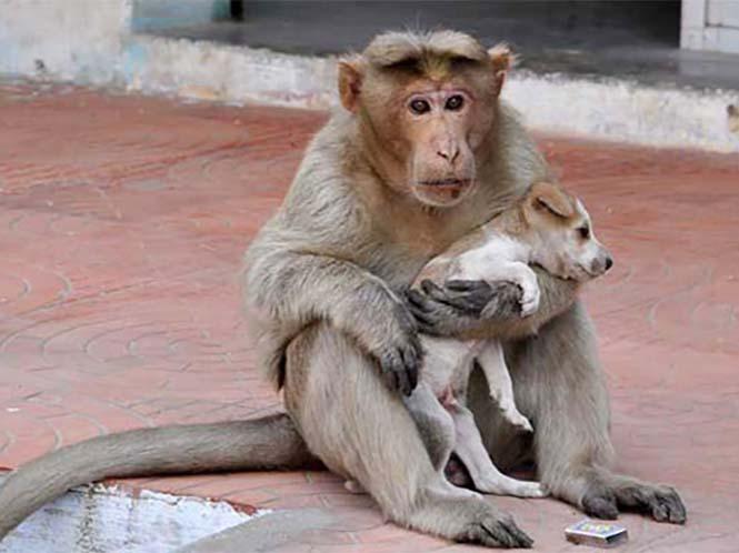 Μαϊμού πήρε κουτάβι υπό την προστασία της (1)