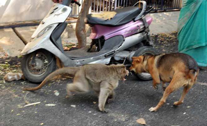 Μαϊμού πήρε κουτάβι υπό την προστασία της (2)