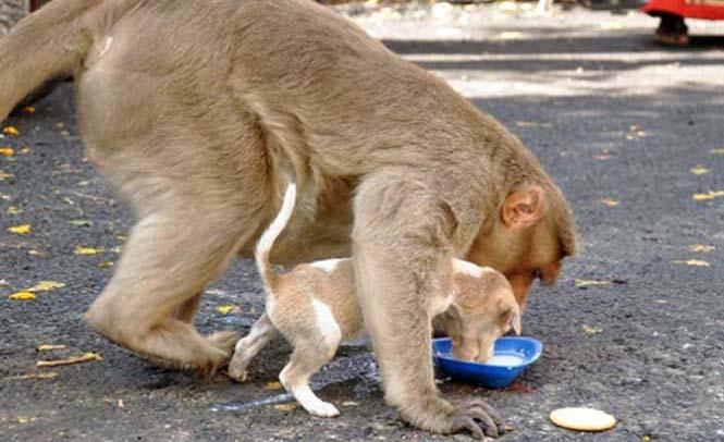 Μαϊμού πήρε κουτάβι υπό την προστασία της (3)