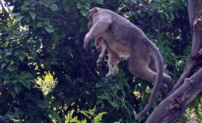 Μαϊμού πήρε κουτάβι υπό την προστασία της (4)