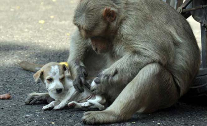 Μαϊμού πήρε κουτάβι υπό την προστασία της (5)